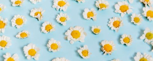 kwiatki - stokrotki leżące na błękitnym obrusie