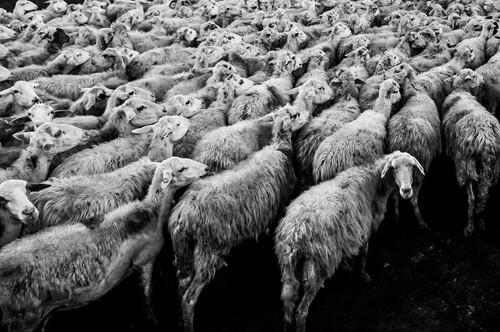 koşuşturan koyunlar