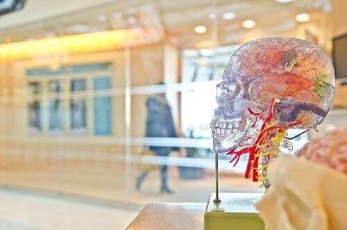 transparentny model czaszki człowieka na wystawie